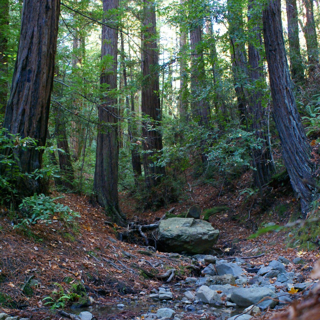 Majestic Redwoods along Corte Madera Creek on Mt. Tamalpais in Mill Valle, California. Photo by Ben Upham. Magical Moment Photos.