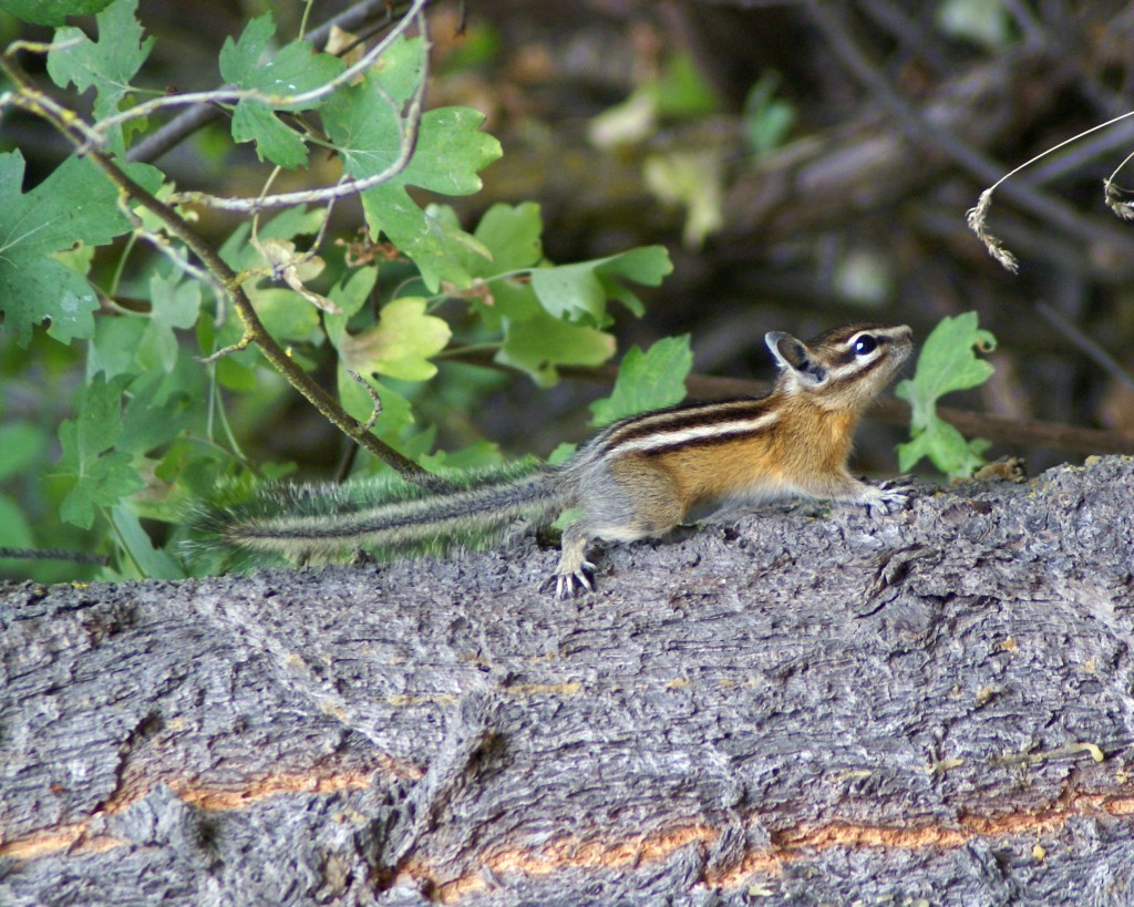 A PHOTOGRAPH OF A CHIPMUNK