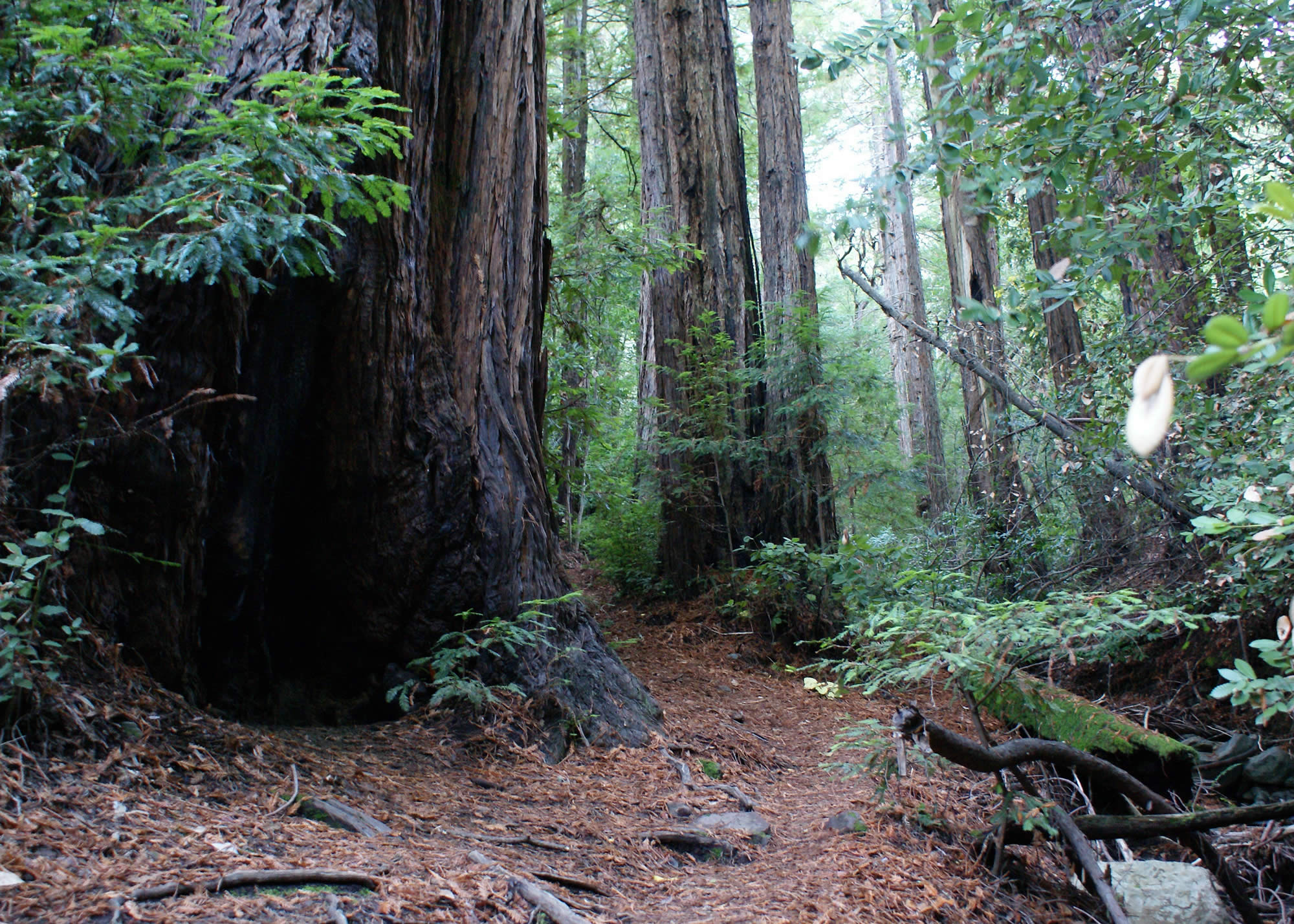 A Redwood Trail